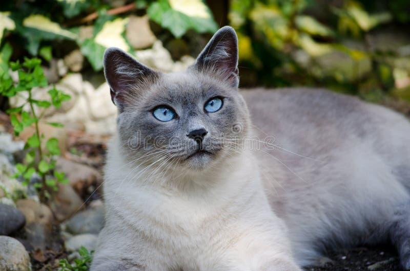 Burmese Cat Stock Images
