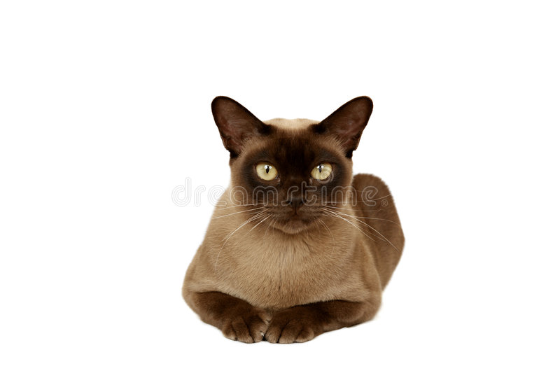 Burmese cat. Looking at camera, olive background stock photos