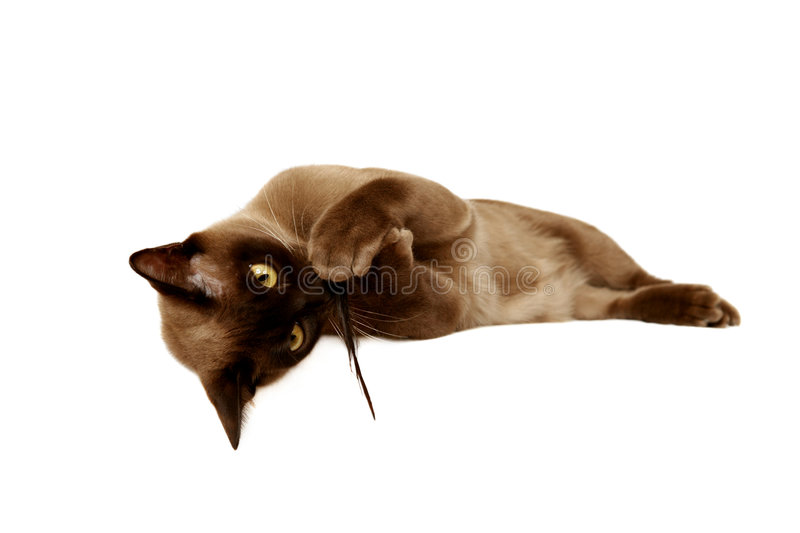 Burmese cat. Playing with a feather on white background stock image