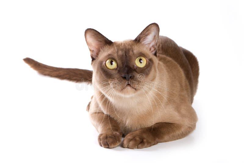 Burmese cat. On white background stock photo