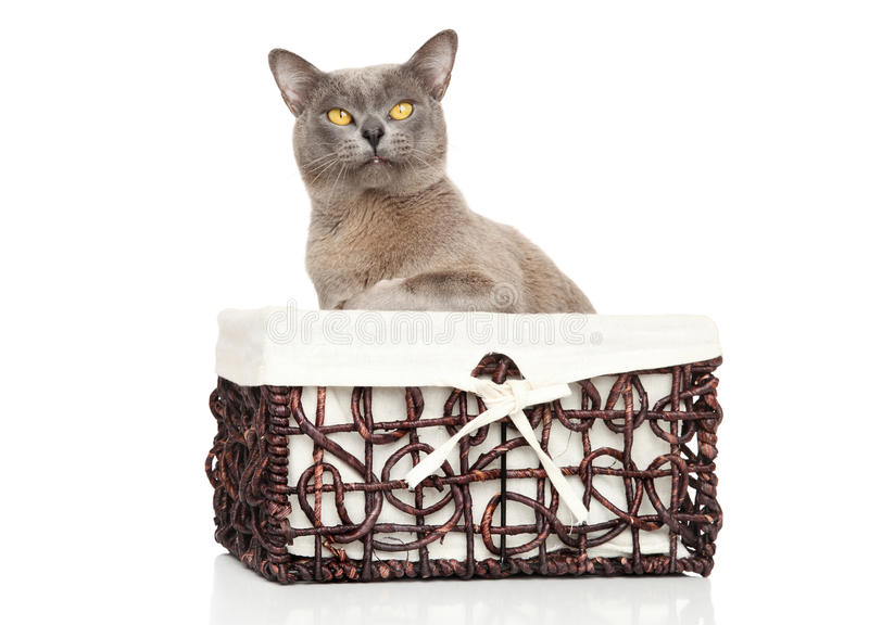 Burmese cat. Burmese Burma cat in basket on white background stock images