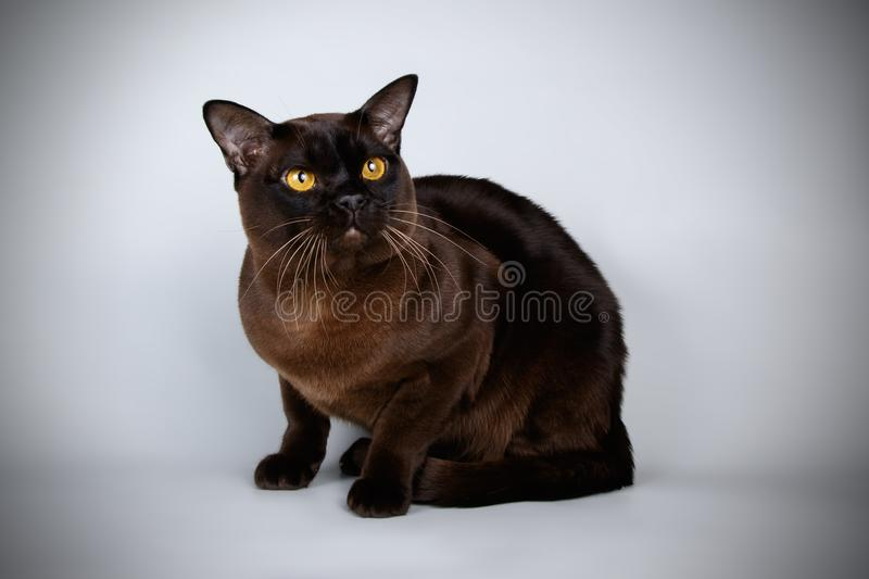 Burmese cat on colored backgrounds stock image