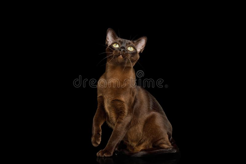 Burmese Cat on isolated black background. Amazing Brown Cat sitting and Looking up on isolated black background, front view stock photography