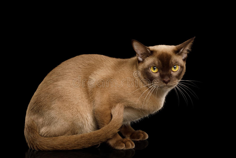 Burmese Cat isolated on black background royalty free stock photos