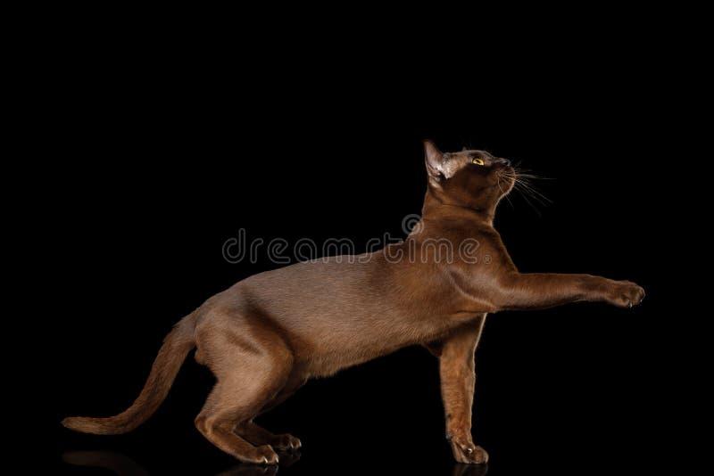 Burmese Cat isolated on black background royalty free stock image