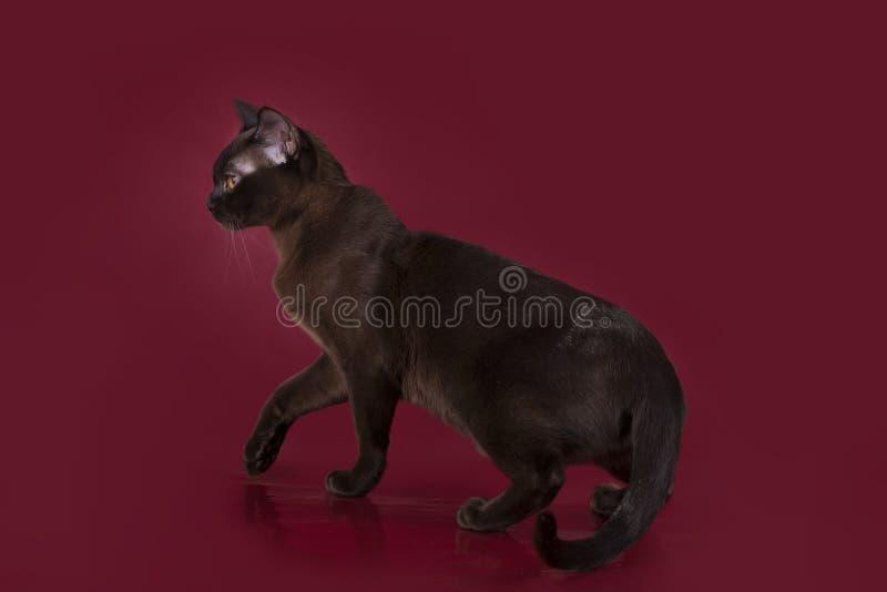 Burmese cat isolated on burgundy background.  stock photo