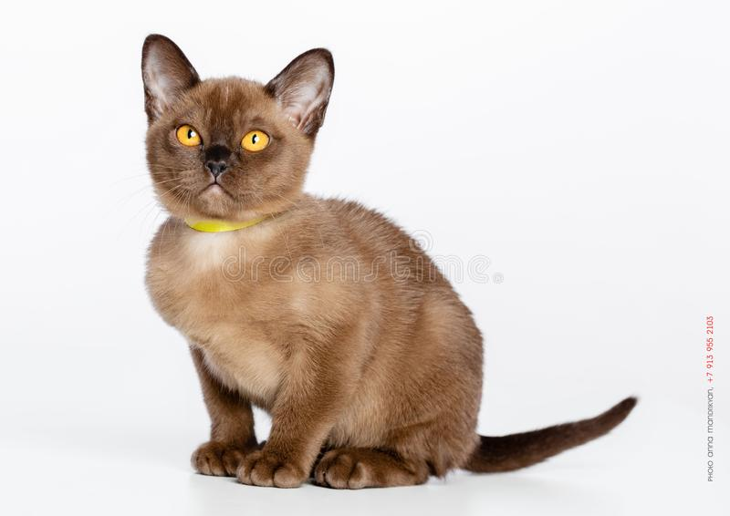 Burmese cat isolated on White Background royalty free stock images