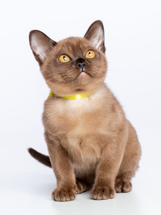 Burmese cat isolated on White Background royalty free stock photo