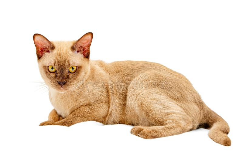 Burmese cat kitty color chocolate, is a breed of domestic cat, originating in Thailand, believed to have its roots near the royalty free stock image