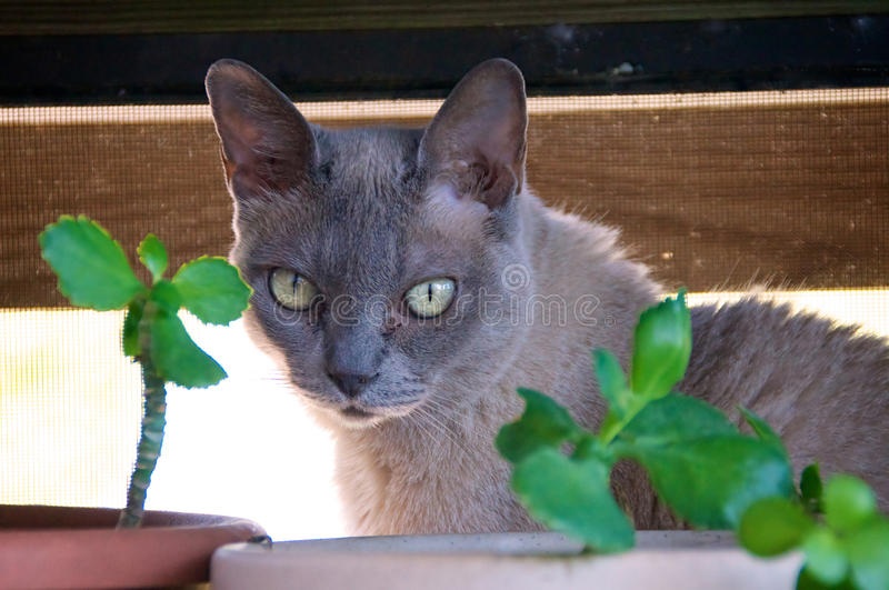 Burmese Cat with plants. A Grey charcoal colored purebred Burmese cat is looking towards the camera from behind potted plants royalty free stock image