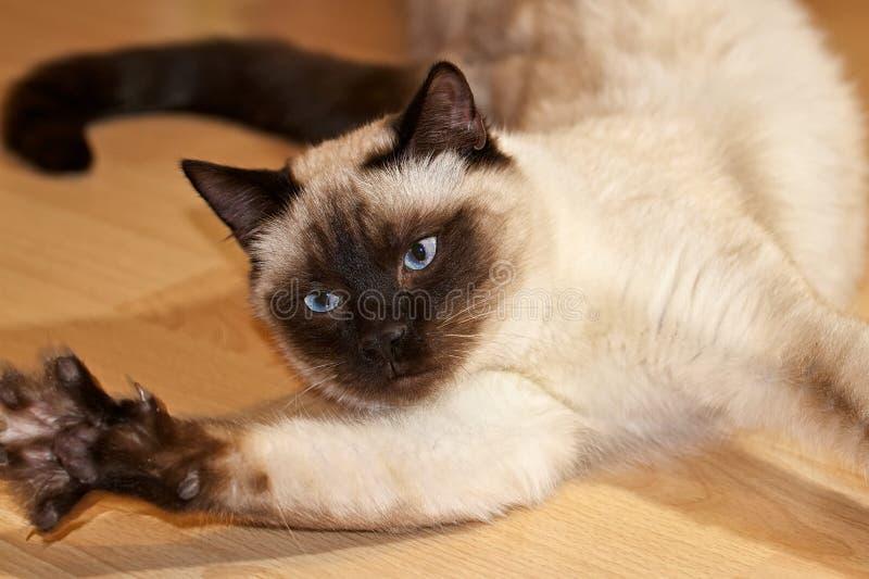 Burmese cat at play. Burma Katze zeigt ihre Krallen beim spielen auf dem Fußboden stock photos