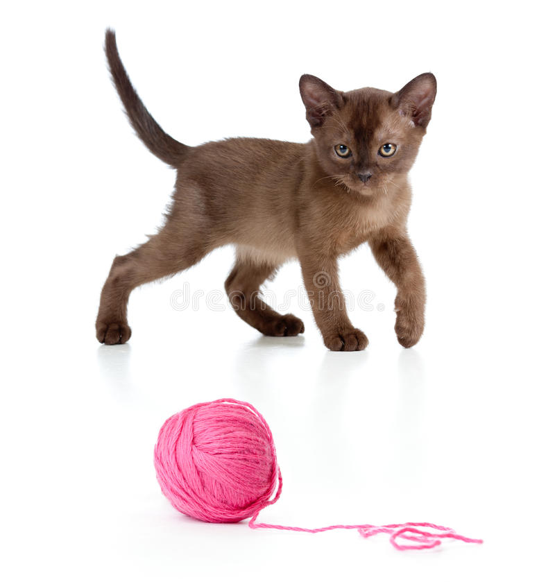 Burmese cat playing red clew or ball. On white stock image