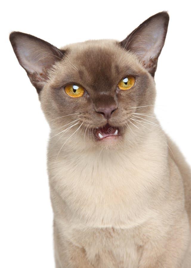 Burmese cat portrait. Burmese cat. Close-up portrait on a white background royalty free stock photo