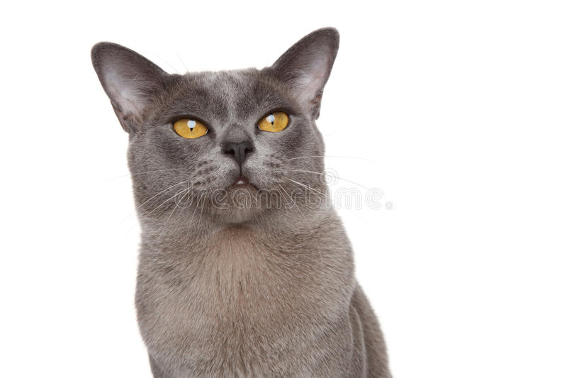 Burmese cat portrait. Burmese cat. Close-up portrait on white background royalty free stock images