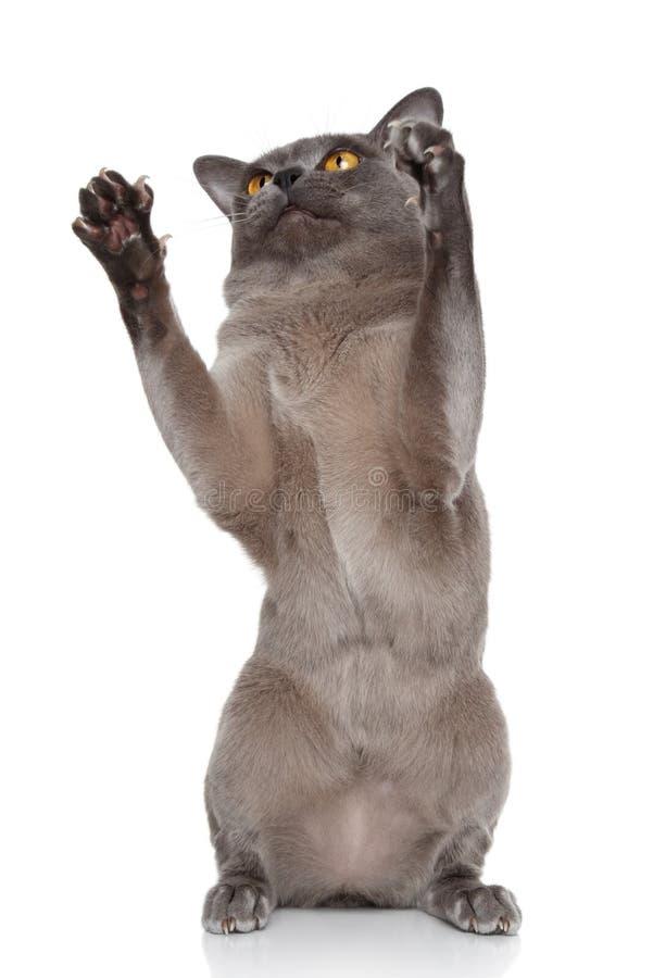 Burmese cat pulls paws stock photo