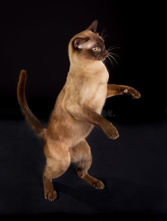 Burmese cat royalty free stock photo