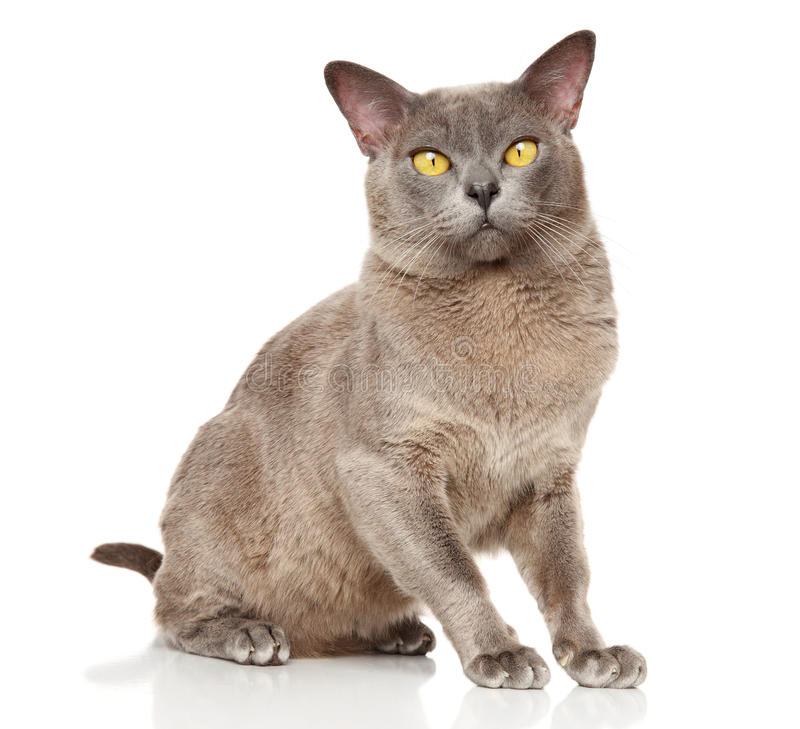 Burmese cat sitting in basket on a white background royalty free stock image