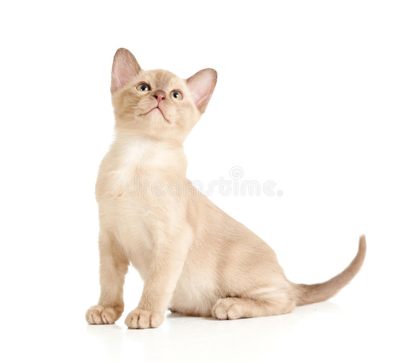 Burmese cat sitting on white and looking upward. Burmese little cat sitting on white and looking upward royalty free stock photography