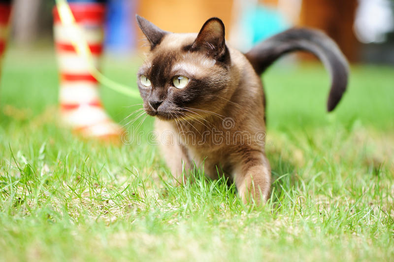 Burmese cat walking on green grass. Burmese cat walking outdoors on green meadow stock photo