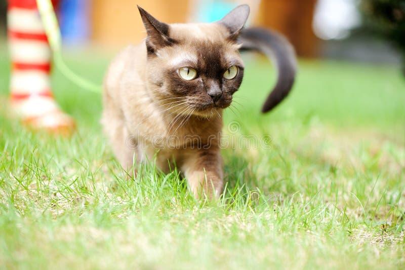 Burmese cat walking on green grass stock images