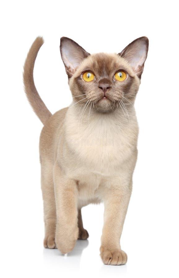 Burmese cat on white background. Burmese cat walking on white background stock photos