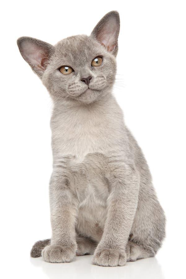 Burmese cat on white background. Burmese Burma cat on white background royalty free stock photo