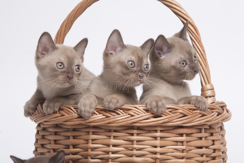 Burmese cats in big basket. Pretty little Burmese breed cat of pale color(straw-coloured). isolated over white background stock photography