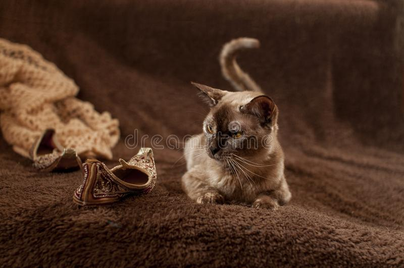 Burmese european cat. This is cat of eutopean burmese. The cat looks at the small shoe. Cat`s tail wriggles stock images