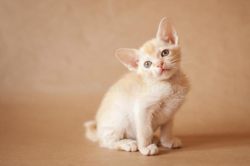 Burmese european kitten. Little kitten of eutopean burmese look at you. That photo is made on a monophonic background royalty free stock images