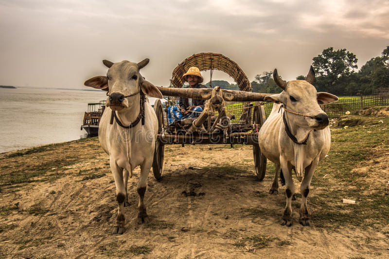 Burmese farmer riding an ox cart. MINGUN, MYANMAR - JANUARY 21, 2016 : Old burmese farmer riding an ox cart along the Irrawaddy River. Irrawaddy River is the royalty free stock photo