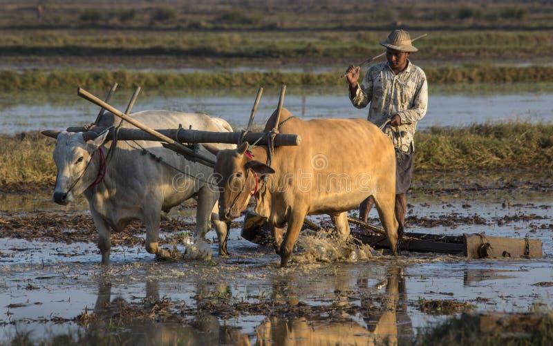 Burmese jordbruk - Hiegu irländare sätter in - Myanmar royaltyfri bild