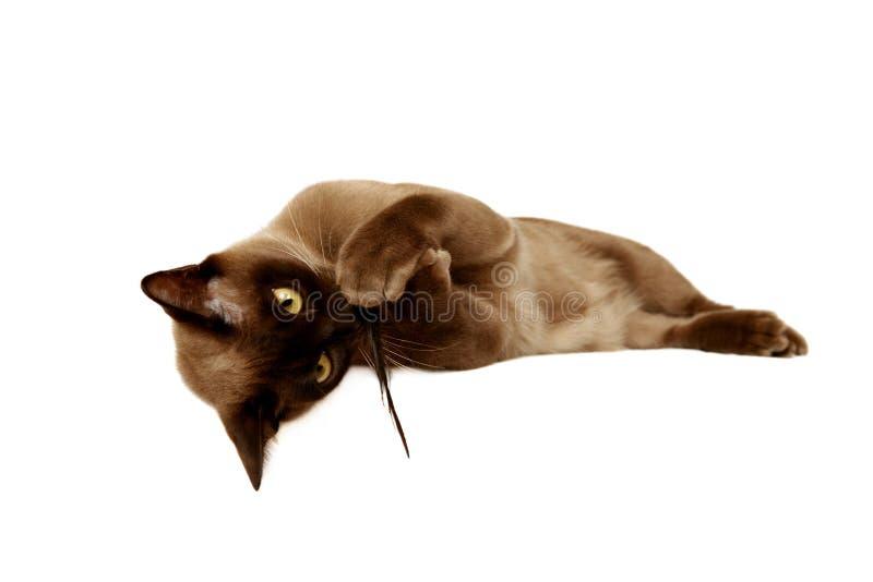 burmese katt fotografering för bildbyråer