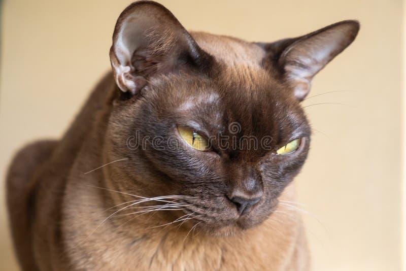 Burmese katt för choklad arkivbilder