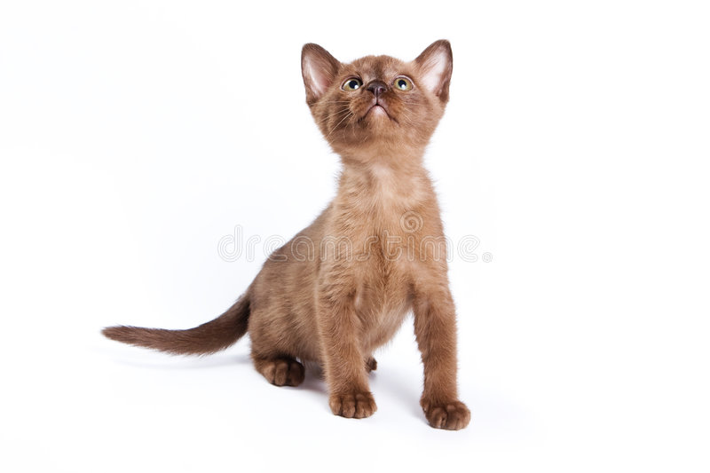 burmese kattunge royaltyfria bilder
