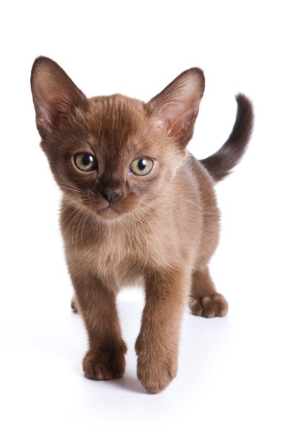 Burmese kitten. On white background stock photography