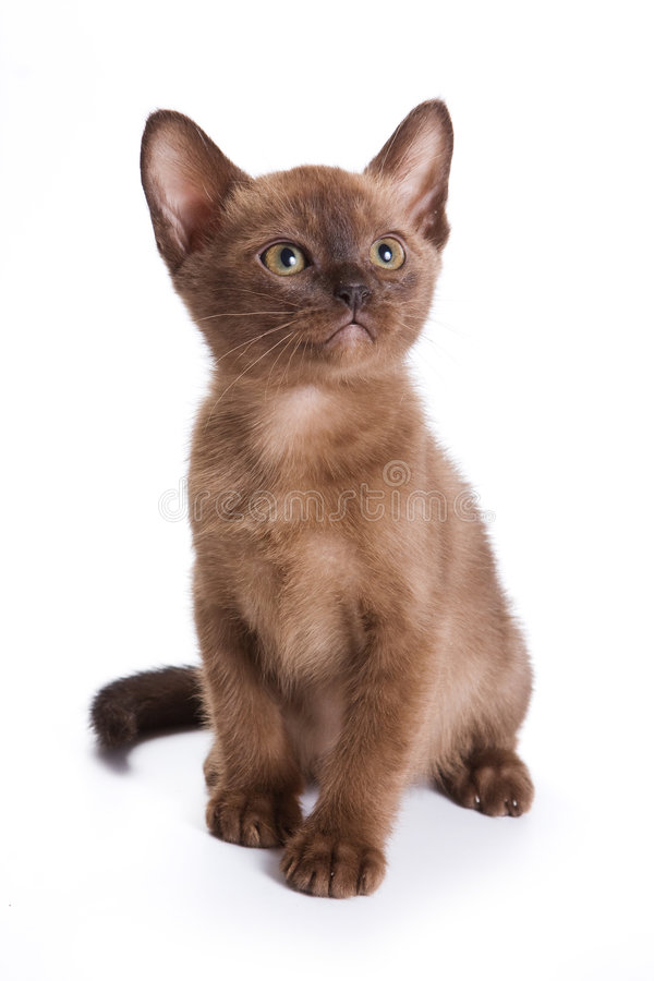 Burmese kitten. On white background royalty free stock photos