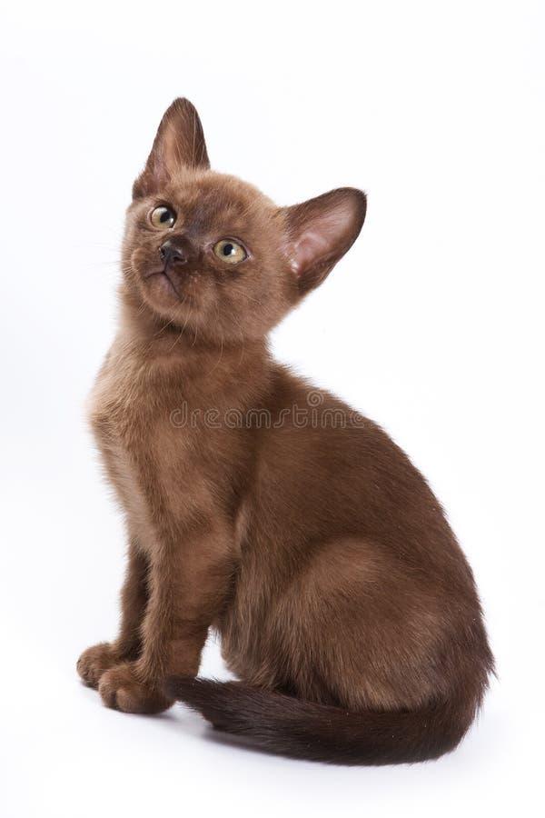 Burmese kitten. On white background royalty free stock images
