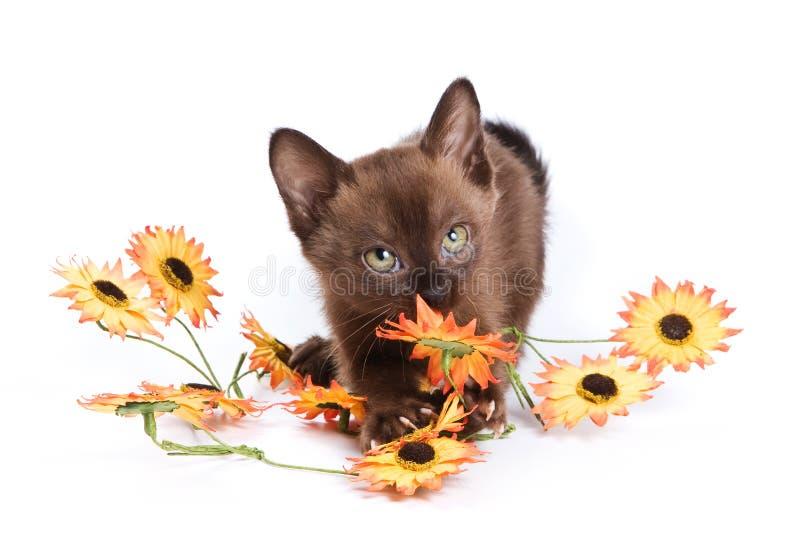 Burmese kitten. On white background stock image