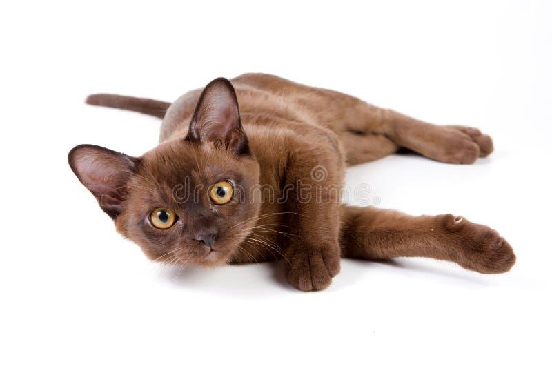 Burmese kitten. On white background stock photo