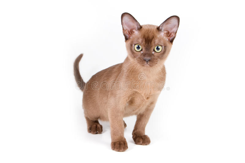 Burmese kitten. On white background stock images