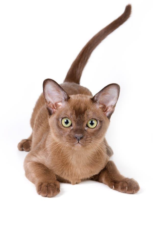 Burmese kitten. On white background royalty free stock photography