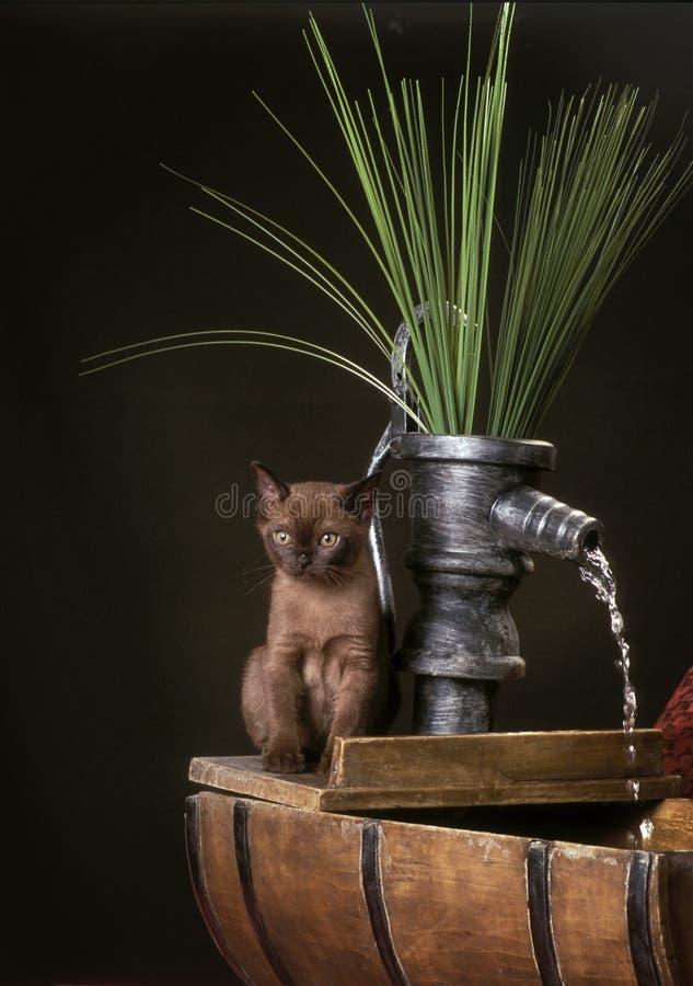 Burmese kitten on a fountain stock photos