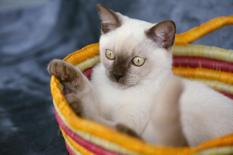 Burmese kitten. Gorgeous crossbreed Burmese Ragdoll young kitten lying in colourful basket royalty free stock images