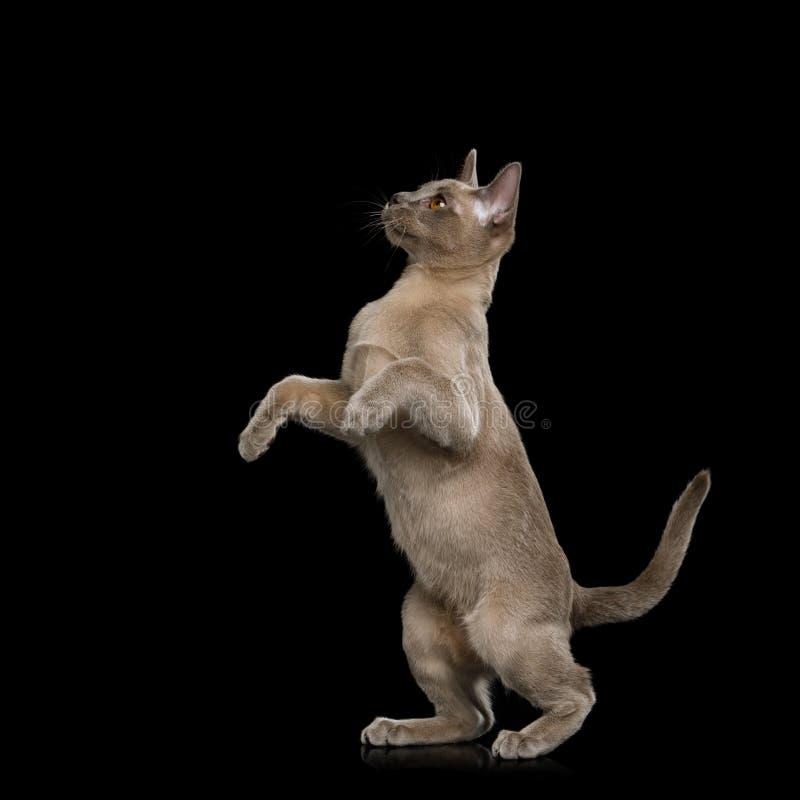 Burmese Kitten on isolated black background royalty free stock image