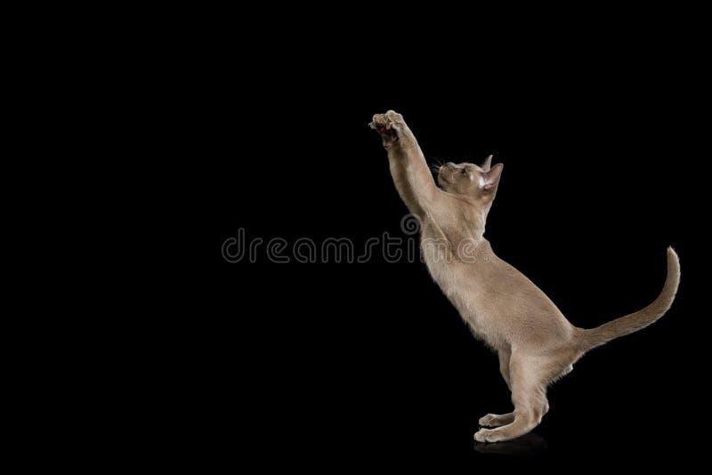 Burmese Kitten on isolated black background stock photos
