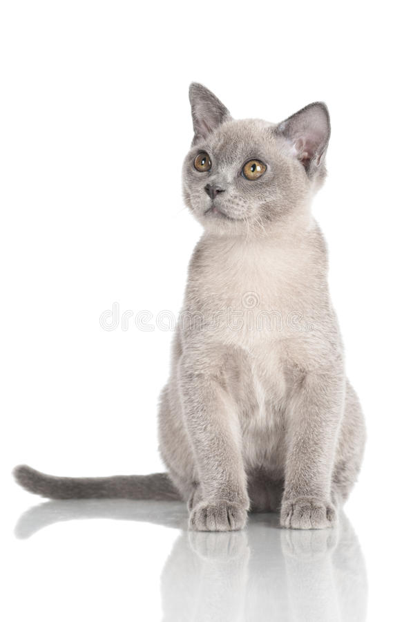 Burmese kitten on white. Grey burmese kitten on white stock image