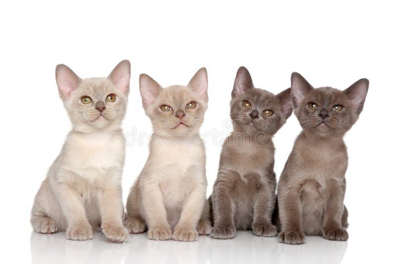 Burmese kittens royalty free stock image