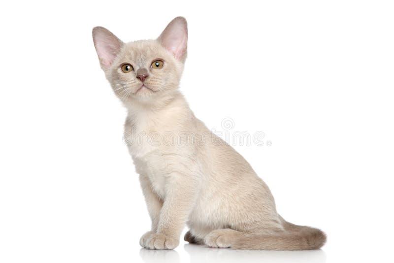 Burmese kittens portrait royalty free stock photography