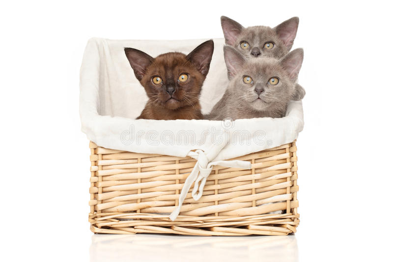 Burmese kittens on a white background stock photo