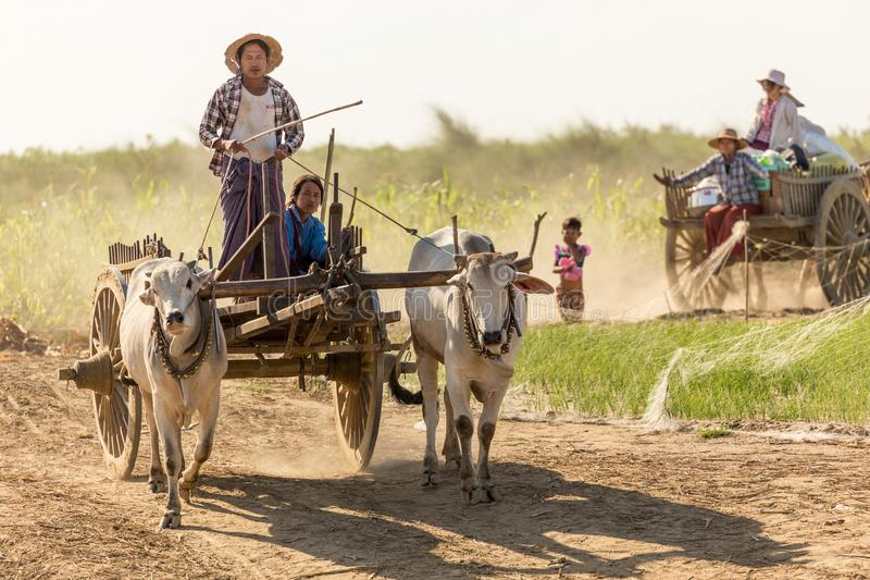 Burmese people driving oxcart. BAGAN, MYANMAR, JANUARY 21, 2015 : Burmese farmers driving an oxcart are coming to unloading a boat of food and materials along stock photo